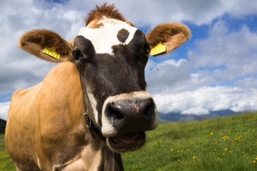 Cow-a-Bunga! | Bozeman Luxury Real Estate