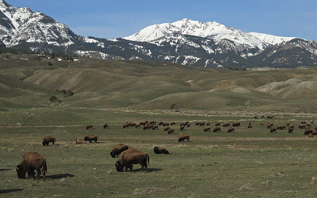 Bison near the North Entrance of Yellowstone;Jim Peaco;April 2014