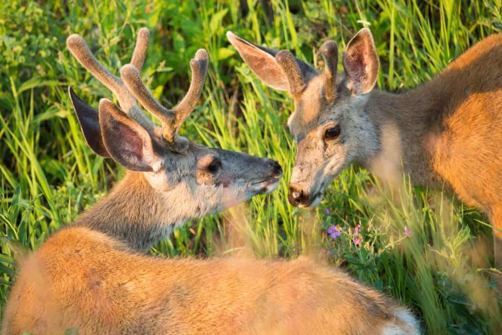 Two buck deer;Neal Herbert;July 2014;Catalog #19651d;Original #1881