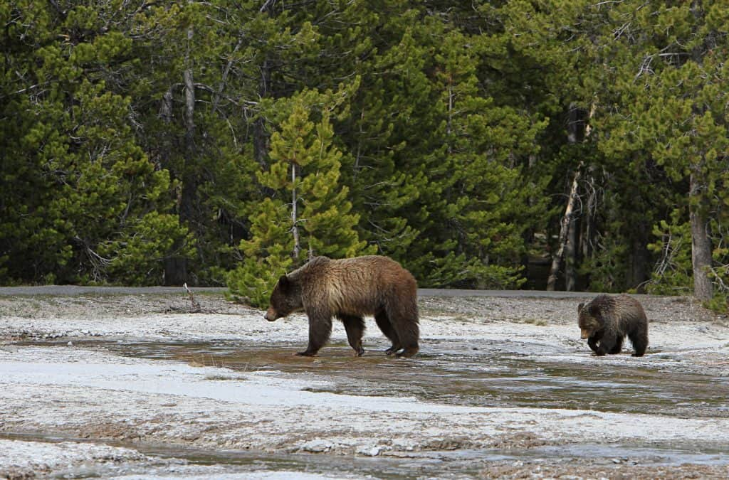 Grizzly sow and yearling near Daisy geyser;Jim Peaco;May 15, 2014