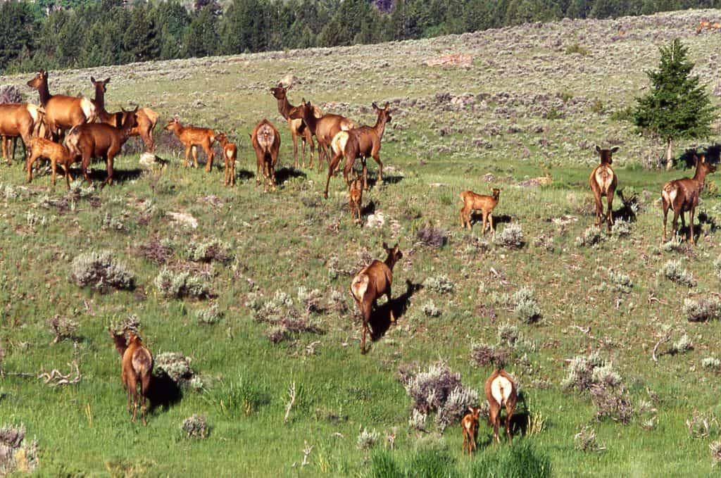 Elk herd near Mammoth;Jim Peaco;June 1999