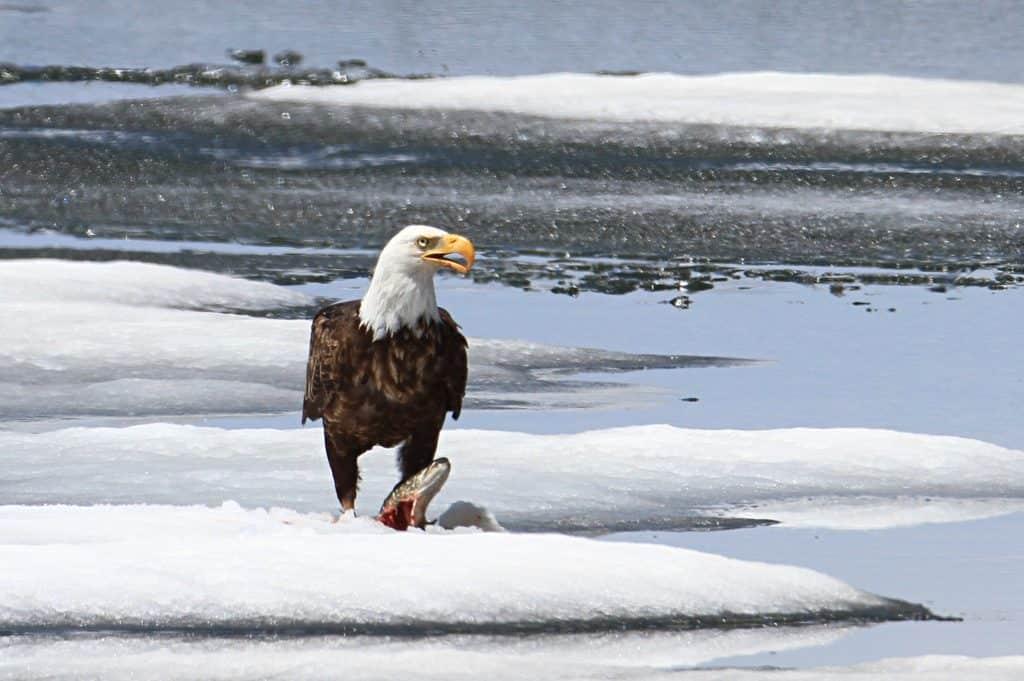 Bald eagle feeding on a lake trout on Lewis Lake;Jim Peaco;June 3, 2014