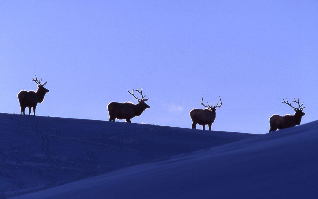 Bull elk in Lamar Valley;Jim Peaco;February 1998