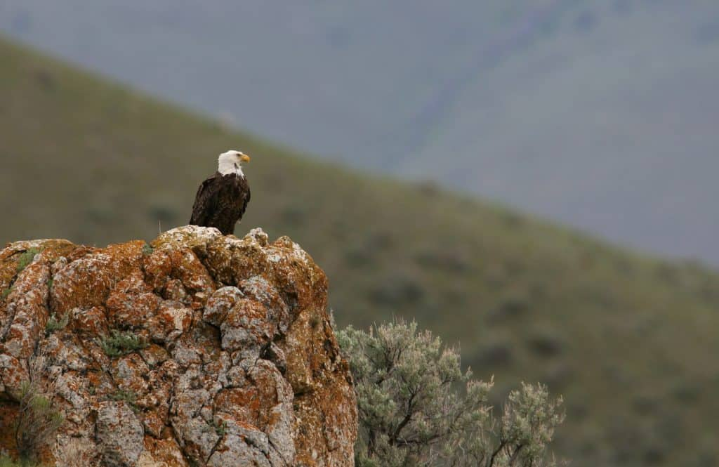 Bald eagle perched on rock near Mammoth Hot Springs;Jim Peaco;June 2008
